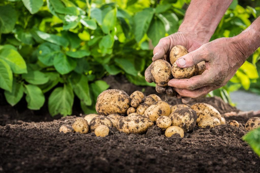 Корнеплоды стабилизации: когда ждать на прилавках картофель эконом-класса