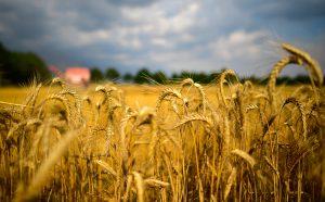 Пошлина на экспорт зерна