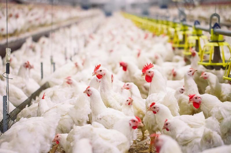 В России - новый птичий грипп