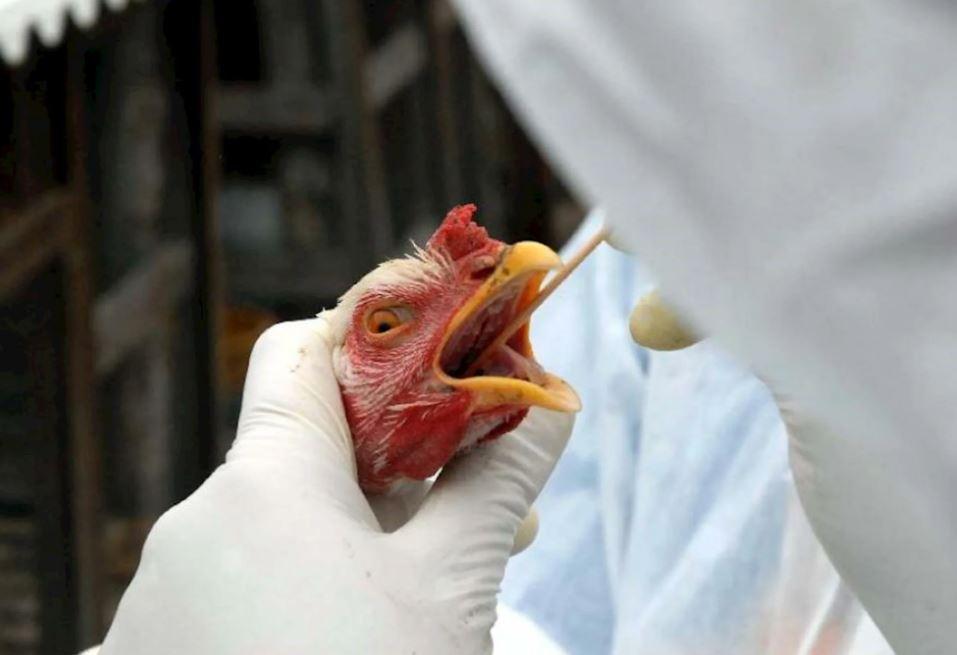 Как не заразиться птичьим гриппом: эксперты оценили безопасность мяса