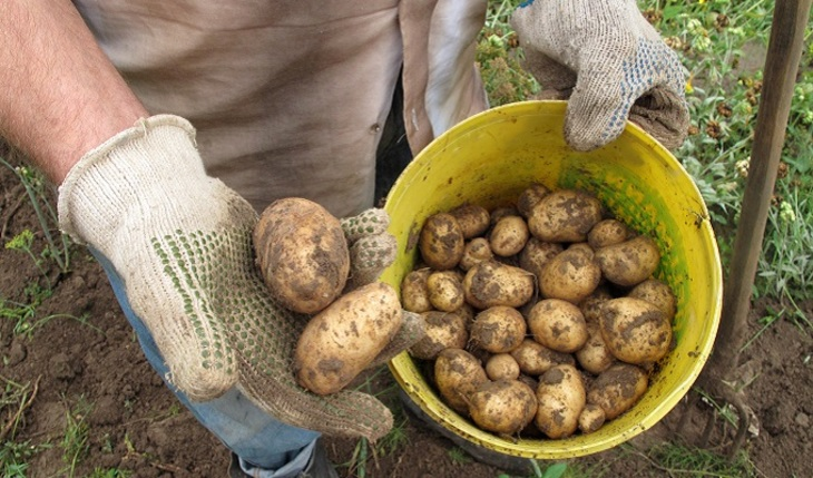 Штраф на картошку. И как тогда россиянам выращивать картошку?